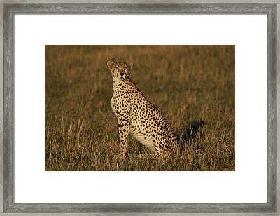 Cheetah On Savanna Masai Mara Kenya Framed Print by Hiroya Minakuchi