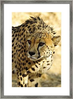 Cheetah Portrait  Framed Print by Andy-Kim Moeller