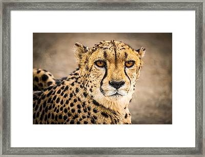 Cheetah Portrait - Color Photograph Framed Print by Duane Miller