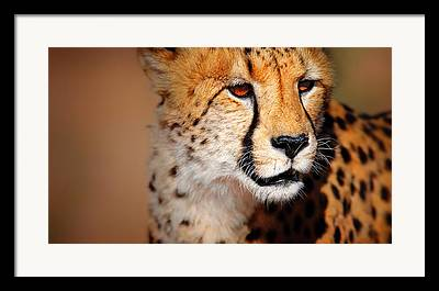 Acinonyx Jubatus Framed Prints