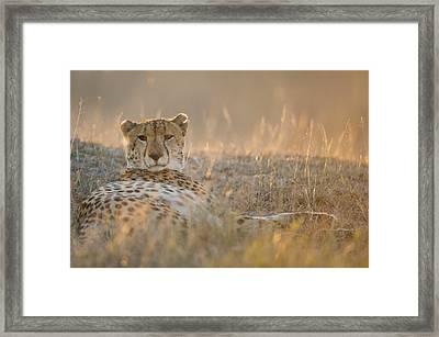 Cheetah Prepares To Sleep Framed Print by Richard Berry