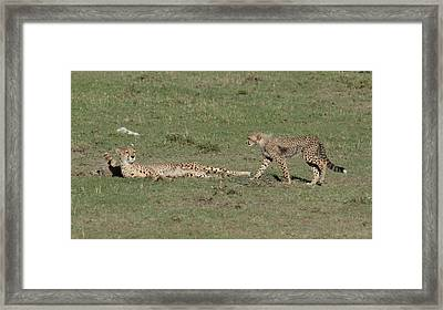 Cheetah Relaxing With Her Cubs Framed Print by Tom Wurl