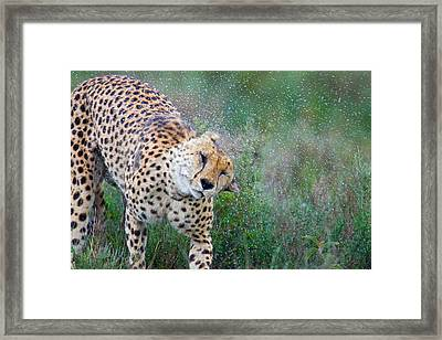 Cheetah Shaking Off Water Framed Print by Panoramic Images