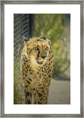 Cheetah Stare Framed Print
