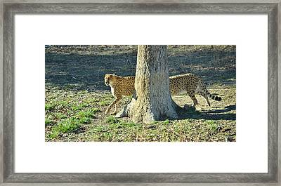 Cheetah Stretch Framed Print