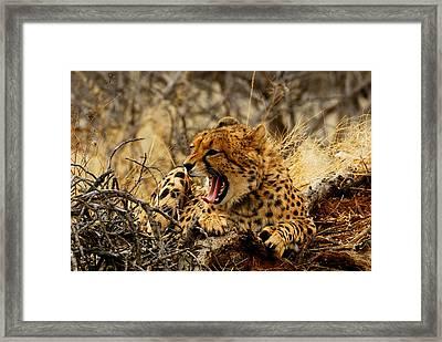Cheetah Teeth Framed Print