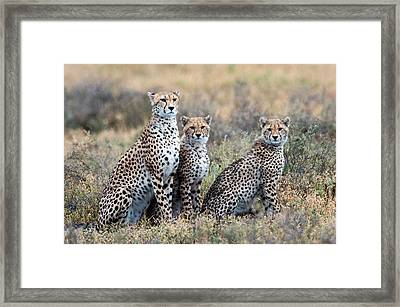 Cheetahs Acinonyx Jubatus In A Field Framed Print