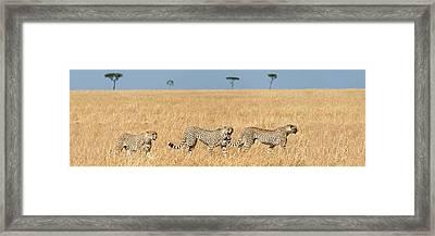 Cheetahs Acinonyx Jubatus Looking Framed Print