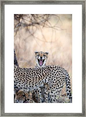 Cheetahs Acinonyx Jubatus Resting Framed Print