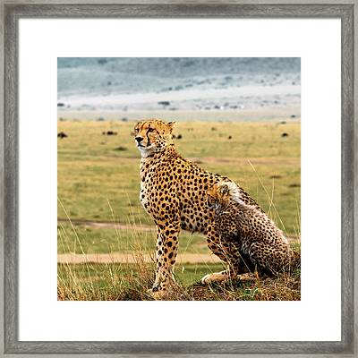 Cheetahs Framed Print by Babak Tafreshi