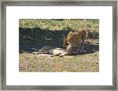 Cheetahs Playing Framed Print