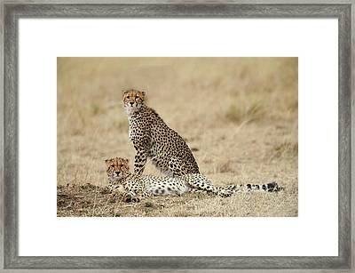 Framed Print featuring the photograph Cheetahs Resting by Phyllis Peterson