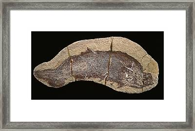 Cheiracanthus Murchisoni Fossil Fish Framed Print by Natural History Museum, London