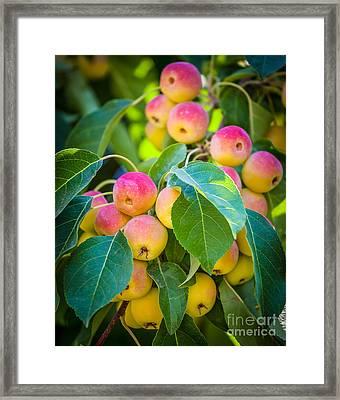 Chelan Apples Framed Print