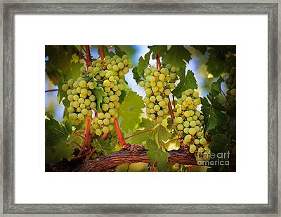 Chelan Grapevines Framed Print by Inge Johnsson