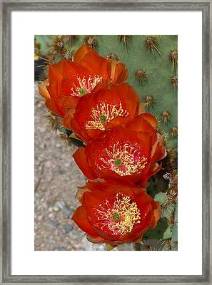 Framed Print featuring the photograph Chenille Prickly Pear Quartet by Cindy McDaniel