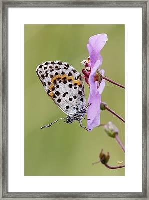 Chequered Blue Butterfly Framed Print