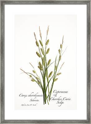 Cherokee Caric Sedge Framed Print