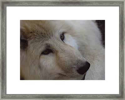 Montana Wolf  Framed Print