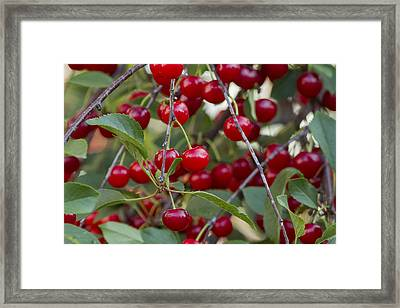Cherries Framed Print by Mircea Costina Photography