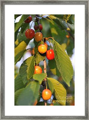 Cherries On Branch At Spring Framed Print