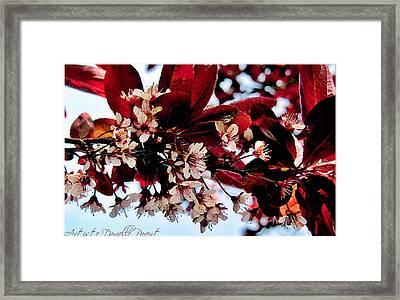 Cherry Blosoms 2 Framed Print by Danielle  Parent