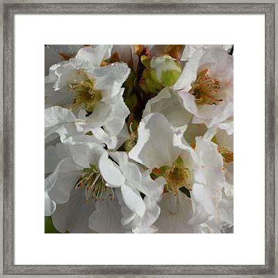 Cherry Blossom 1.1 Framed Print by Cheryl Miller