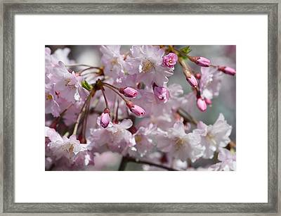 Cherry Blossom Blooms Framed Print by Lisa Phillips