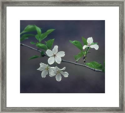 Cherry Blossom Branch Framed Print by Kim Hojnacki