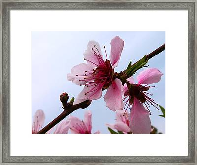 Cherry Blossom Framed Print by Camille Lopez