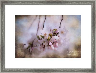 Cherry Blossom Dreams Framed Print by Terry Rowe