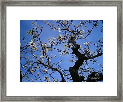Cherry Blossom Framed Print by Drew Shourd