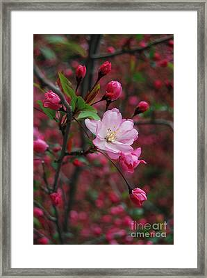 Framed Print featuring the photograph Cherry Blossom by Eva Kaufman