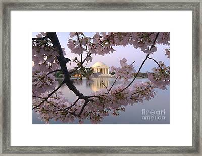 Cherry Blossom Festival   Dc Framed Print