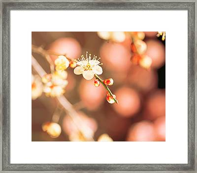 Cherry Blossom In Selective Focus Framed Print
