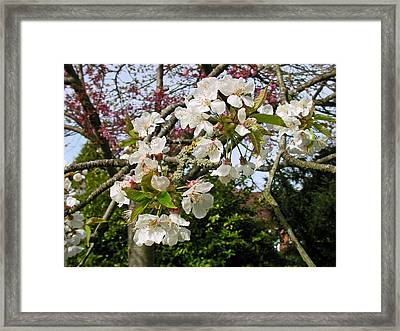 Cherry Blossom In The Spring Framed Print
