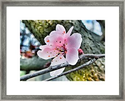 Cherry Blossom  Framed Print by Marianna Mills