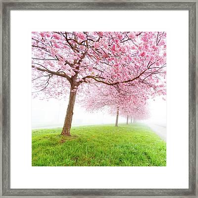 Cherry Blossom On Trees Framed Print