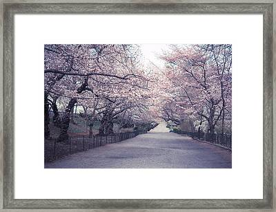 Cherry Blossom Path - Central Park Springtime Framed Print by Vivienne Gucwa