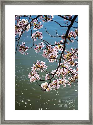Cherry Blossom Framed Print by Rima Biswas