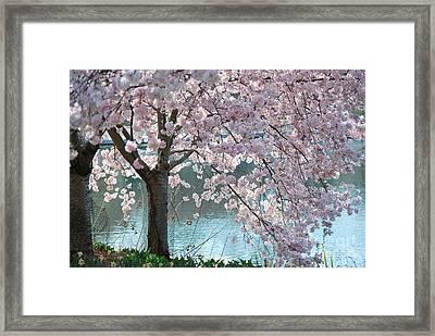 Cherry Blossom Framed Print by Robin Hassler