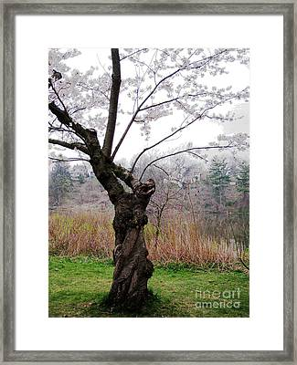 Framed Print featuring the photograph Cherry Blossom Time by Nina Silver