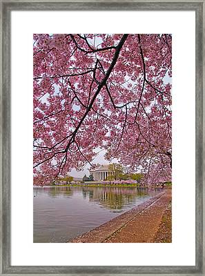 Cherry Blossom Tree Framed Print by Mitch Cat