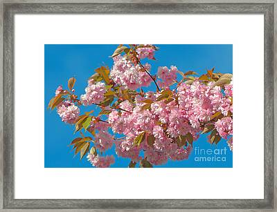 Cherry Blossoms 2 Framed Print by Sharon Talson