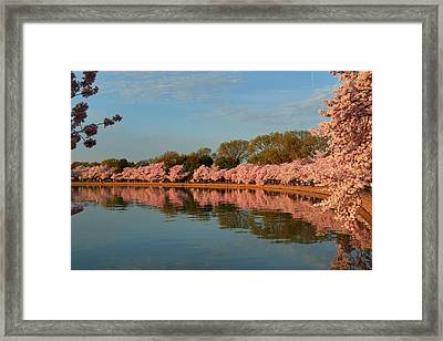 Cherry Blossoms 2013 - 001 Framed Print by Metro DC Photography