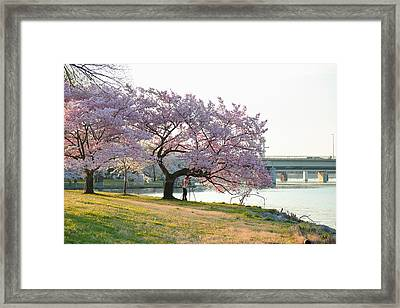 Cherry Blossoms 2013 - 003 Framed Print