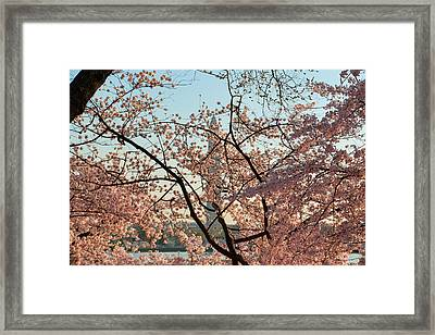 Cherry Blossoms 2013 - 004 Framed Print by Metro DC Photography
