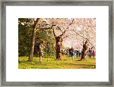 Cherry Blossoms 2013 - 009 Framed Print by Metro DC Photography