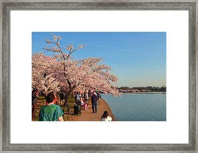 Cherry Blossoms 2013 - 010 Framed Print by Metro DC Photography