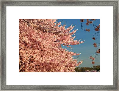 Cherry Blossoms 2013 - 013 Framed Print by Metro DC Photography
